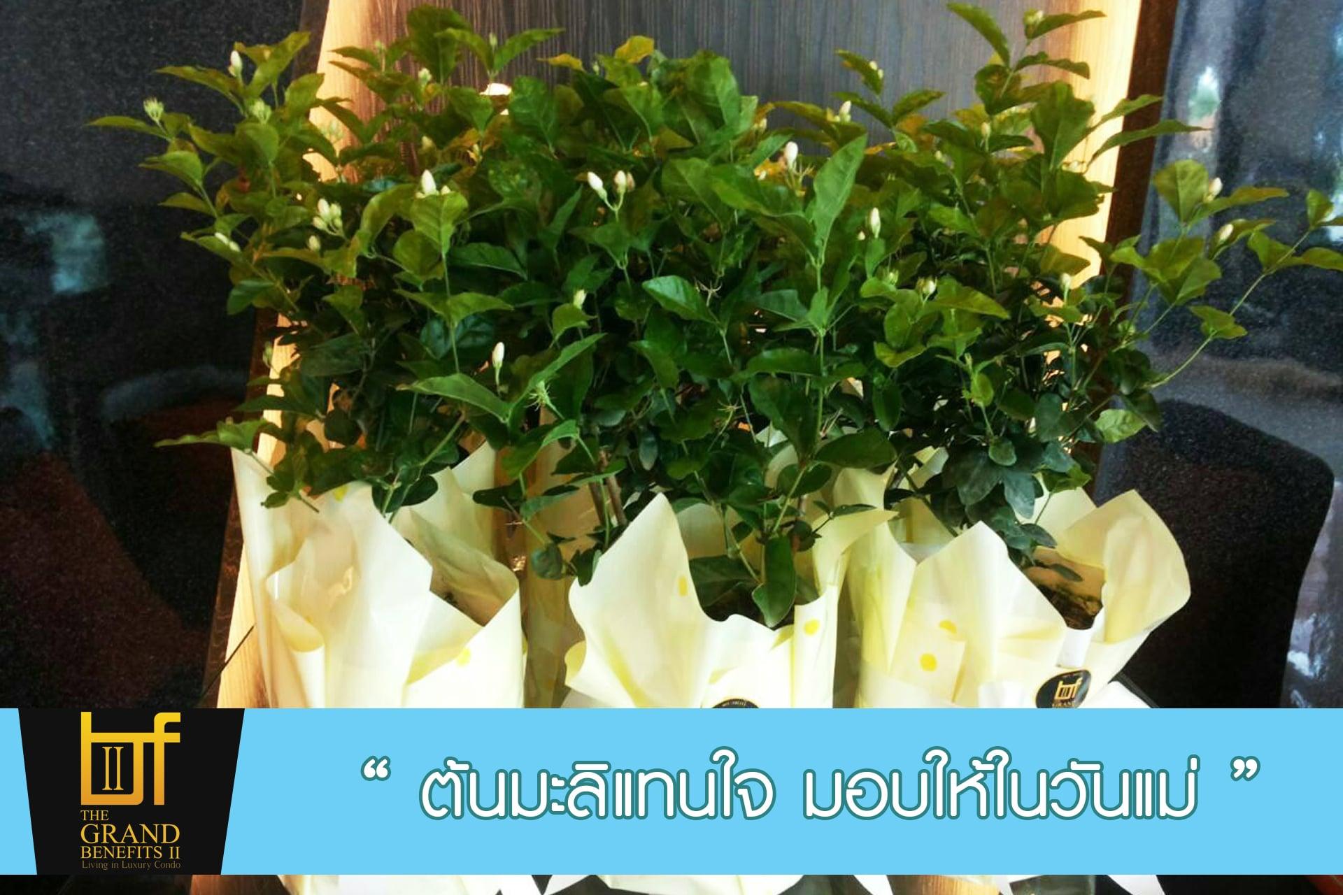 ฟรี !! ต้นมะลิแทนใจ มอบให้ในวันแม่